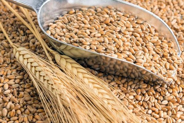 Preocupan los costos en trigo